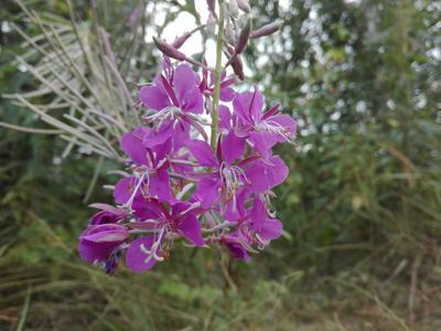 Июльский подарок Этот цвет радует мои глаза