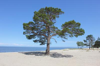 Благодать сосна Байкал Энхалук пляж