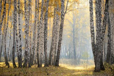 Если тихонько приоткрыть занавес Осень березы туман лес свет