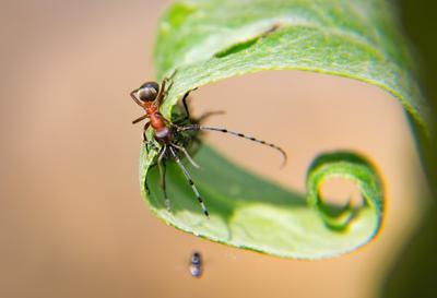 Встретились Муравей насекомые лист растения лето макро
