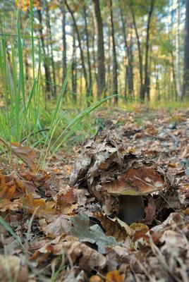 ... гриб, белый гриб