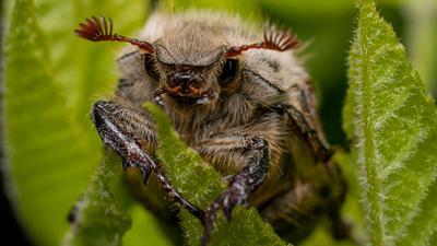 майский жук жук насекомые