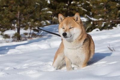 Кайфуюююю сиба-ину собаки зима отдых шиба-ину лес дорога