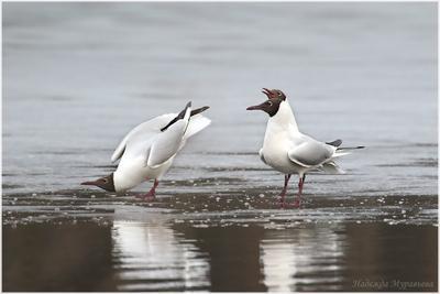 Консилиум Озёрная чайка Larus ridibundus