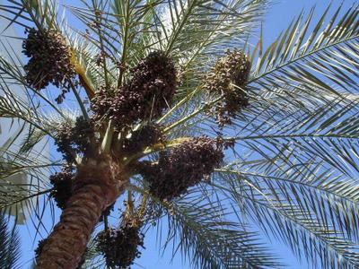 Земля обетованная пальма