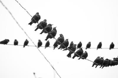 *** птицы чб