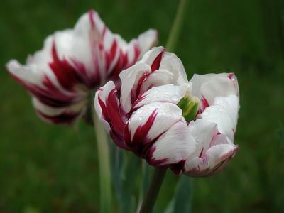 Я и моя тень Тюльпаны весна Киев