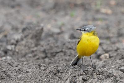 Желтая трясогузка природа птицы фотоохота животные