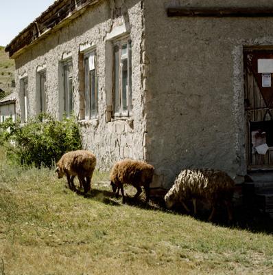 Вкусняшки Саратов Россия Барашки овцы ягненок природа деревня старый дом село аутентика
