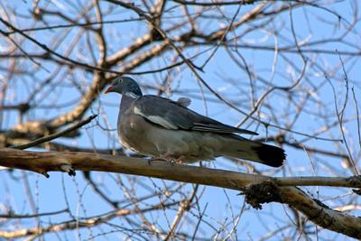 Вяхирь Columba palumbus фотоохота птицы вяхирь голуби дикие вяхири голубь дикий