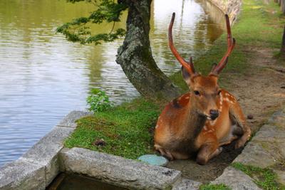 Отдыхающий олень Япония вода олень дерево животное