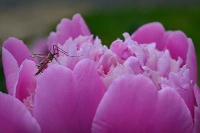 Вдыхая чудный аромат природа лето июнь пион комар аромат симбиоз ароматерапия