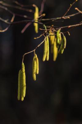 Цветёт орешник орешник лес весна
