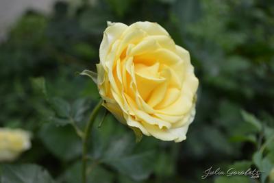 *** Цветы роза