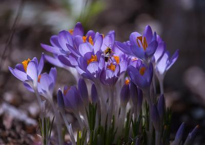 Первая гостья природа цветы лето флора насекомые весна