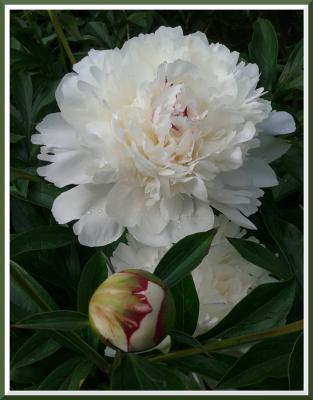 Зацвели пионы в родовом имении Красота аромат