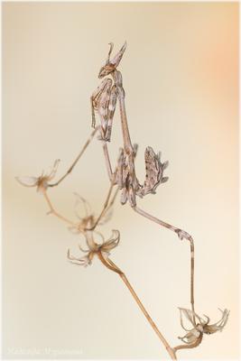 Веточка Эмпуза полосатая Empusa fasciata
