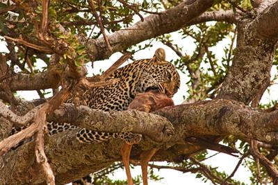 Bon appetite! леопард Кения Масаи Мара