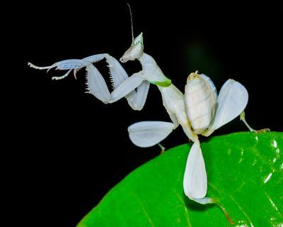 Humenopus coronatus