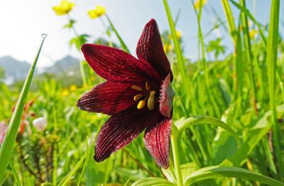 Ря́бчик камча́тский. макро цветы Ря бчик камча тский