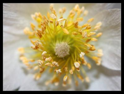 Диофрагма пестик, тычинки, цветы
