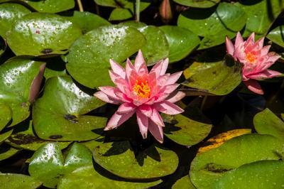 ***Водные лилии