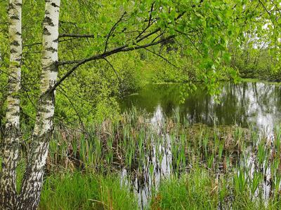 Две берёзки загрустили у пруда в лесу. лес пруд береза
