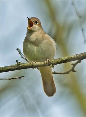соловей соловей самец птица Польша пение май весна Бытом