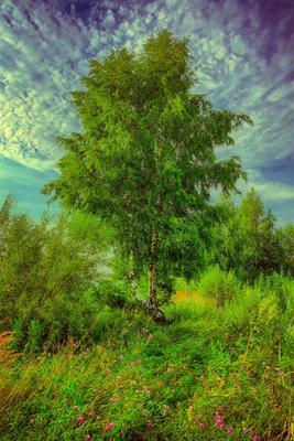 Лето лето природа береза луговые цветы