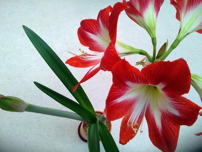 Сумасшедшая весна цветы весна амариллис гиппеаструм