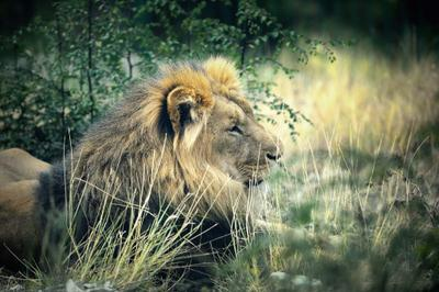 Царь. Просто царь. лев, животные, сафари