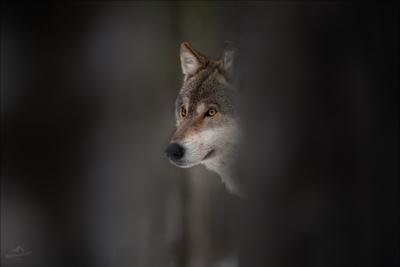 Час волка .. волк wolf canis lupus Беларусь