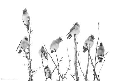 Свиристели птицы природа фотоохота свиристели