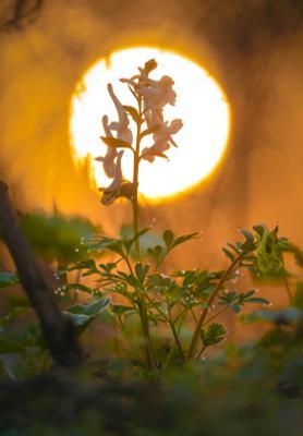 Весеннее солнце Ставропольский край цветы природа флора хохлатка цветок первоцветы роса рассвет макро жёлтый свет золотой блики солнце