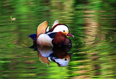 Утка-мандаринка Утка-мандаринка любовь кряква