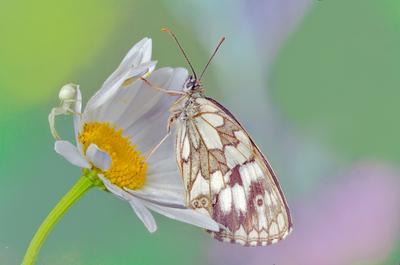 На ромашке бабочка ромашка паучок