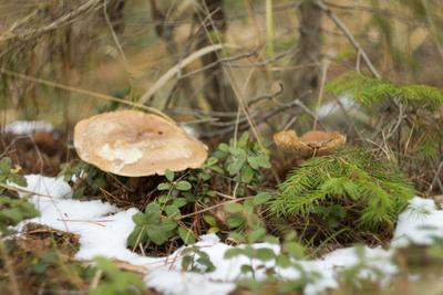Подснежники Грибы лес