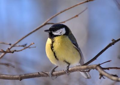 Мартовская синичка Nikon природа птицы синица