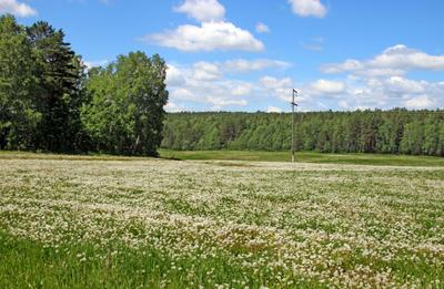 Лето, одуванчики отцвели. Сибирь Красноярский край лето природа поле одуванчики