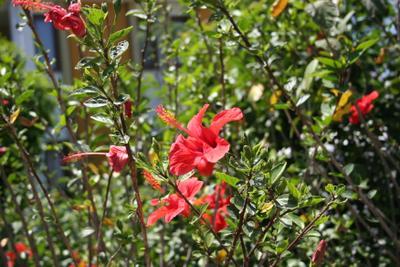 Розовый Кемер кемер китайская роза гибискус май 2013