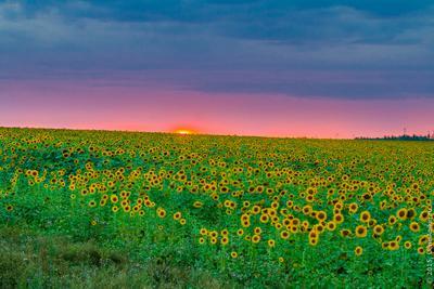 Подсолнухи на закате подсолнух закат поле солнце небо тучи подсолнухи лето