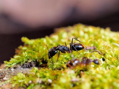 Живой муравей