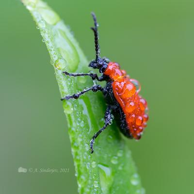 Лилейный жук в каплях дождя жук макро насекомое