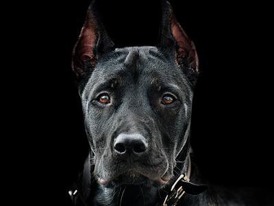 Сосед Портрет собаки дог серьезный взгляд анфас домашние животные чёрной фон голова глаза пёс