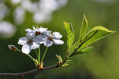 Нежное цветение вишни.