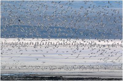 Большая семья чайки Чокракское озеро соленое Чокрак Крым Керченский полуострова