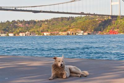 Босфорский (в царстве кошек) 2015 босфор весна май мосты собаки стамбул турция