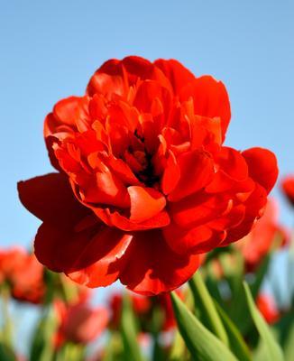 красный тюльпан цветы красный тюльпан