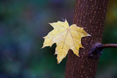 Последний лист осень, дождь, листья, клен