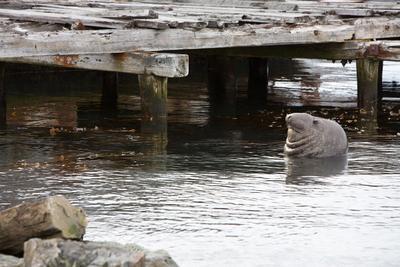 Водолаз South Georgia sea elefant морской слон Южная Джорджия